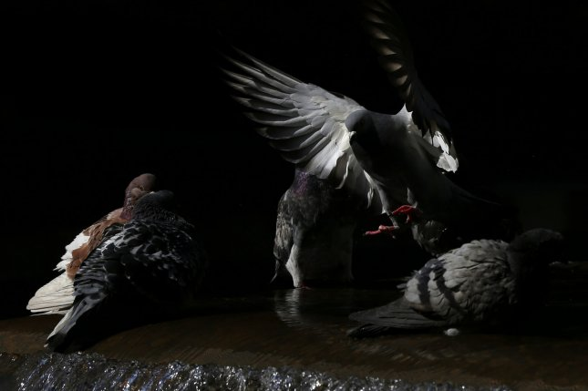 A pigeon prepares to land on a fountain on Sixth Avenue in New York City. A new study examined how small-brained birds, like pigeons, have adapted to urban settings. Photo by John Angelillo/UPI