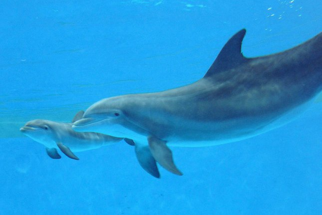 Dolphins may need certain immune genes for survival in particular ecosystems, according to a new study. File Photo by Jim Schultz/Chicago Zoological Society