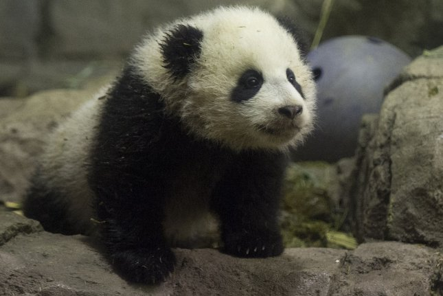 Bao Bao, the giant panda cub, is seen during her media preview at the Giant Panda House at the Smithsonian National Zoological Park in Washington, D.C., January 6, 2014. (File/UPI/Kevin Dietsch)