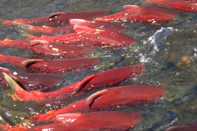 Male and female sockeye salmon are seen migrating up Hansen Creek in Alaska. Photo by Tom Quinn/University of Washington/UPI