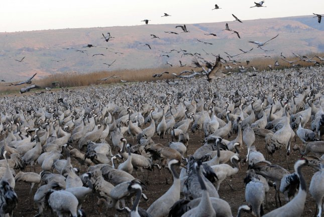 Cranes are just one of thousands of bird species that take on significant migratory treks. File photo by Debbie Hill/UPI