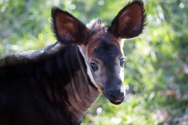 Red list 2013: the Okapi and White-winged Flufftail are now threatened species