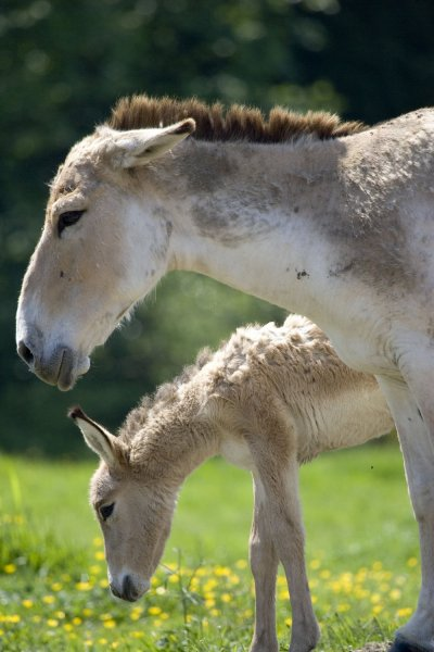 A newborn Kulan, a rare type of wild ass from Afghanistan, stands with it's mother, at Mountainview Conservatory near Vancouver, British Columbia, May 22, 2007. The endangered Kulans are nearly extinct in their native Afghanistan. (UPI Photo/Tim King)