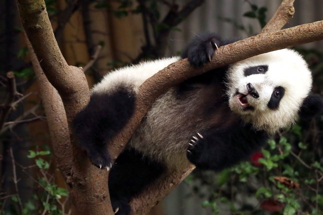 A young giant panda struggles to climb down a tree at the Panda Research Base in Chengdu, Sichuan Province, China on Nov. 20, 2017. In China, a network of research centers, nature reserves, breeding facilities and wildlife sanctuaries have been established to support the endangered and vulnerable giant panda. Photo by Stephen Shaver/UPI