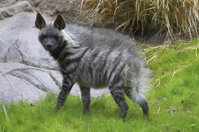 A female striped hyena explores her new habitat at the San Diego Zoo. New research suggests when the going gets tough, hyenas are willing to partner with wolves. Photo by UPI Photo/Ken Bohn/Zoological Society of San Diego