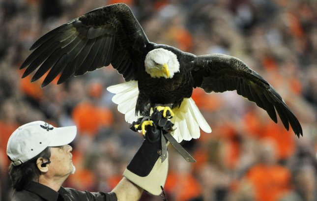 Challenger the Bald Eagle lands after his flight during pre-game festivities of the Fiesta Bowl between Stanford and Oklahoma State at University of Phoenix Stadium in Glendale, Arizona, January 2, 2012. UPI /Art Foxall
