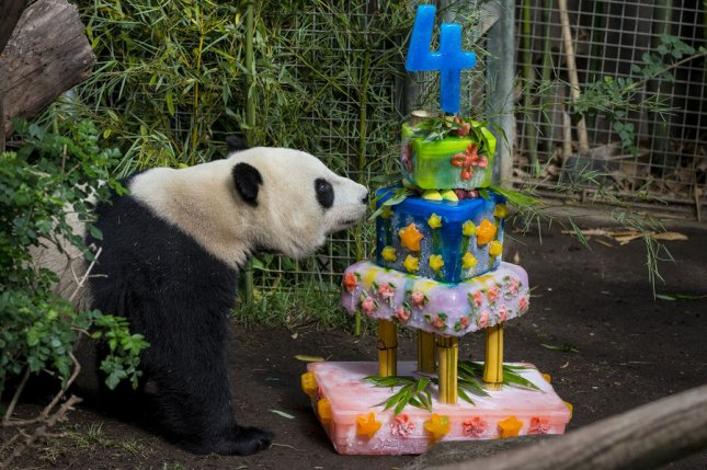 Giant panda Yun Zi inspects his birthday cake at the San Diego Zoo., August 5, 2013 in San Diego. File Photo by Ken Bohn/UPI