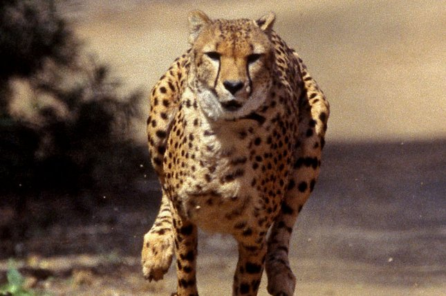 Inner ear of cheetahs specially-designed for hunting at high speeds ...