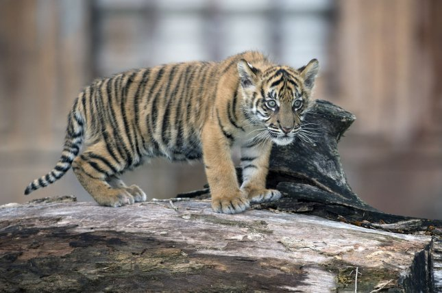 Prosecutors in France said a couple paid $7,000 to buy a Savannah cat, a mix between an African serval and a domestic cat, from an online ad, but ended up surrendering the animal when it turned out to be a Sumatran tiger cub. File Photo by Joe Marino-Bill Cantrell/UPI