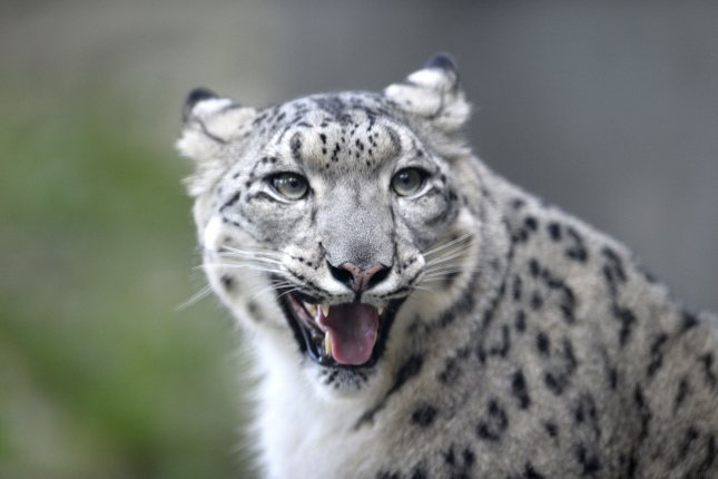 The Louisville Zoo's three snow leopards have tested positive for the virus that causes COVID-19 in humans. File Photo by Brian Kersey/UPI
