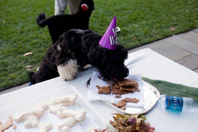 Bo, family dog of U.S. President Barack Obama, eats treats at his birthday celebration in the Rose Garden of the White House in Washington on October 9, 2009. UPI/Pete Souza/The White House