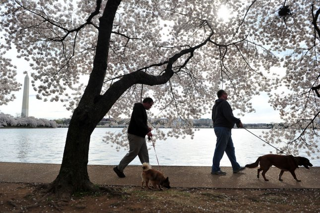 Men azoospermic -- lack of sperm -- may have higher cancer risk/ Two men walk their dogs under a cherry blossom tree during the National Cherry Blossom festival in Washington. UPI/Kevin Dietsch