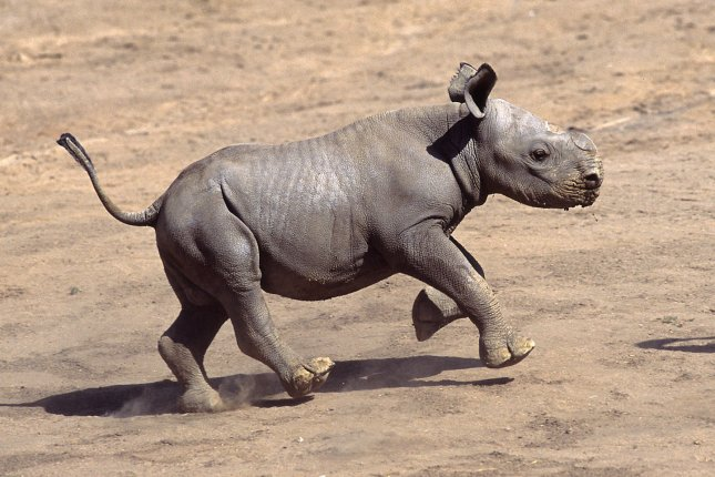 A black rhinoceros calf gets some exercise at the San Diego Zoo's Wild Animal Park. The black rhino, native to Africa, is critically endangered. Photo by UPI/Ken Bohn/San Diego Zoo