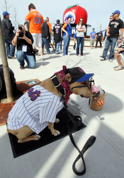 A Pit Bull dressed in Mets cloths sits outside Citi Field before the New York Mets play the Florida Marlins on Opening Day at Citi Field in New York City on April 5, 2010. UPI/John Angelillo