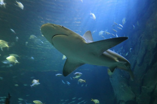 A shark swims in his new home at the St. Louis Aquarium in 2019. Discovery Channel has announced Shark Week 2020 will begin on Aug. 9. File Photo by Bill Greenblatt/UPI