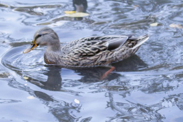 A Maine man posted a personals ad on behalf of his lonesome duck at a local food co-op. File Photo by John Angelillo/UPI