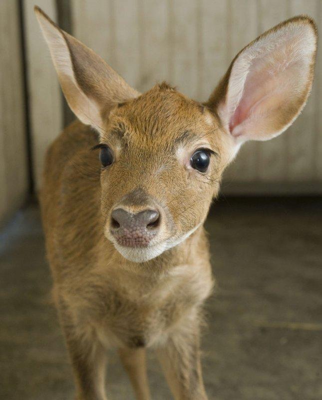 An Eld's deer is seen at the National Zoo in Washington. UPI/Mehgan Murphy/National Zoo