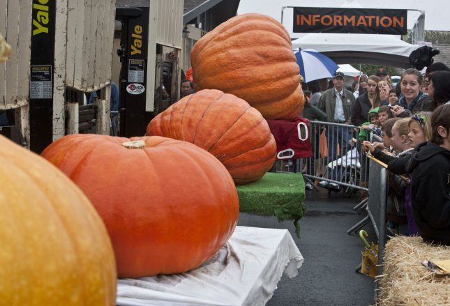 Four pumpkins are lined up for judging in the beauty contest portion of the 38th annual Pumpkin Weigh-off in Half Moon Bay, California on October 10, 2011. UPI/Terry Schmitt