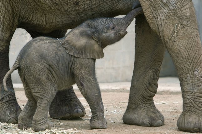 A newborn 238 pound female African elephant calf stays close to her mother Umoya (oo-MOY-ah) just hours after her birth at the San Diego Zoo's Wild Animal Park on September 19, 2007 at 12:23 a.m. This is the fourth African elephant calf to be born at the Wild Animal Park since 2003. Another calf is expected by early 2008. (UPI Photo/Tammy Spratt/Zoological Society of San Diego)