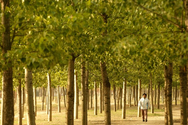 China has funded the planting of massive monoculture forests. Photo by Stephen Shaver/UPI
