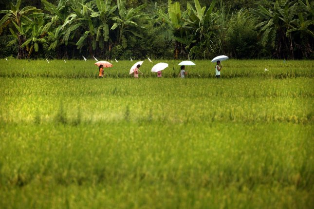 Researchers have developed a new way to engineer crops, granting rice crops higher levels of beta carotene. Photo by UPI Photo/Stephen Shaver