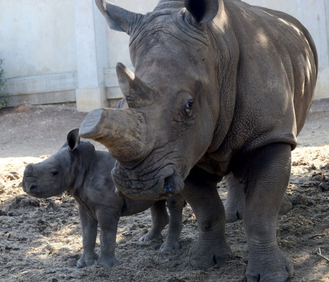 A 3-week-old female white rhino stands with her mother, Tanda, at the Ramat Gan Safari, near Tel Aviv, Israel, on September 4, 2014. In their natural habitat in South Africa, white rhino poaching increased 50% in the first six months of 2021 compared to the same period in 2020. File Photo by Debbie Hill/UPI