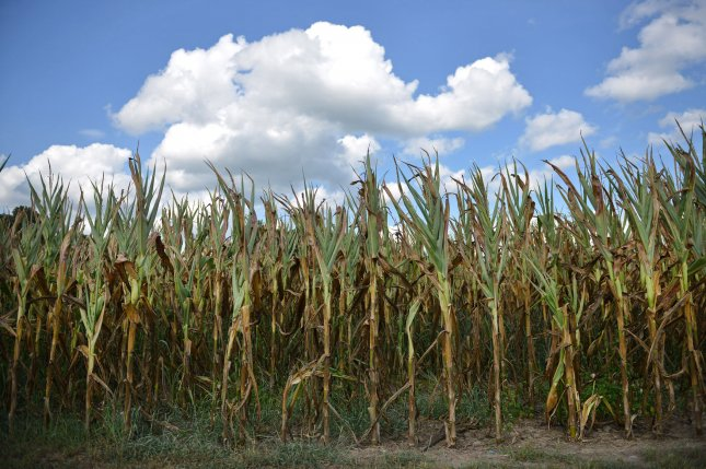 Research suggests in the upper Midwest, at least, corn and biofuel crops use equal amounts of water. File photo by UPI/Kevin Dietsch
