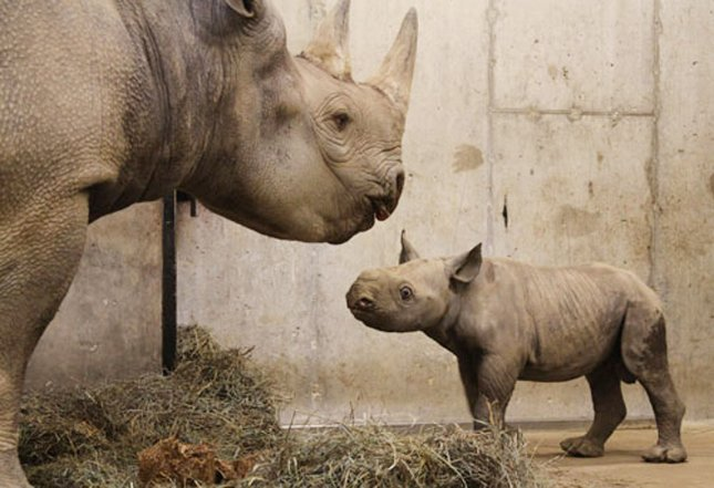 A black rhinoceros calf with its mother at the St. Louis Zoo on January 14, 2011. The black rhino has experienced the most drastic decline of any rhino species. Black rhinos are heavily poached, because it is thought in many Asian countries that the rhino horn has medicinal uses. Photo by Saint Louis Zoo