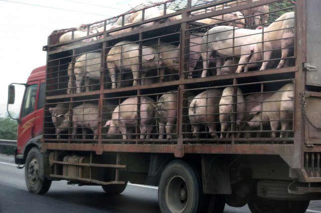 A lorry loaded with hogs heads to the slaughterhouse outside of Beijing on December 30, 2015. File Photo by Stephen Shaver/UPI