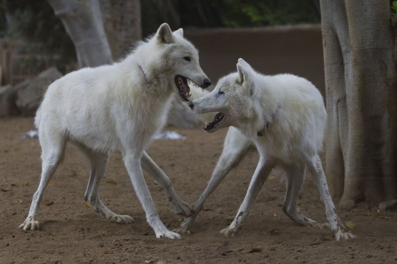 Arctic wolf brothers, Kenai and Keeli, wrestle at the San Diego Zoo on July 8, 2010. UPI/Ken Bohn/San Diego Zoo