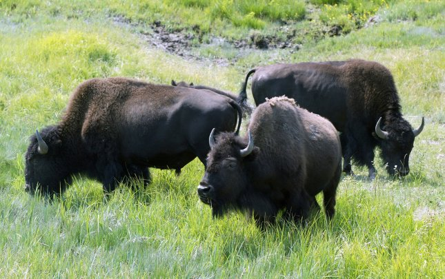 American bison graze in a lush meadow in Yellowstone National Park, in Wyoming, July 29, 2006. (UPI Photo/A.J. Sisco)