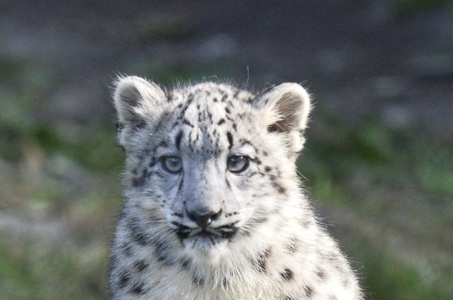 Researchers identified antibodies from pathogens in the blood of wild snow leopards. File Photo by Brian Kersey/UPI
