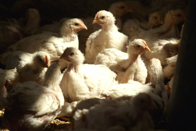 Chicken and duck farms in a district in South Korea have reported an increasing number of bird flu cases, and the virus is spreading to birds in a wildlife habitat. File Photo by Ismael Mohamad/UPI