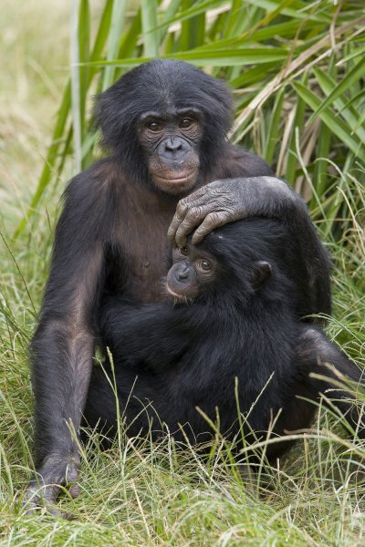 The San Diego Zoo said it plans to vaccinate more great apes after giving doses to bonobos and orangutans. File Photo by Ken Bohn/UPI