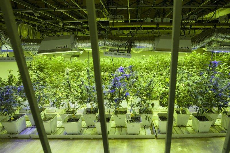 Marijuana plants are cultivated. UPI/Gary C. Caskey