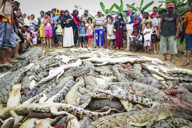 Mob in Indonesia slaughters 300 crocodiles in revenge killing