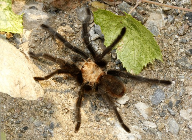 A Texas brown tarantula (Aphonopelma hentai) in the New Mexico desert. Photo by Steve Bower/Shutterstock