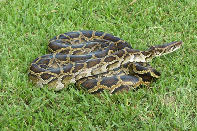 An Australian couple said they were shocked to find a 10-foot python coiled up in their Christmas tree. File Photo by Susan Jewell/USFWS
