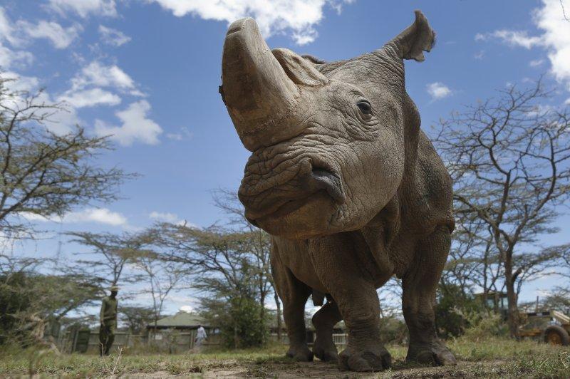 Sudan, the last surviving male northern white rhino on the planet, died in Kenya. File photo by Dai Kurokawa/EPA-EFE
