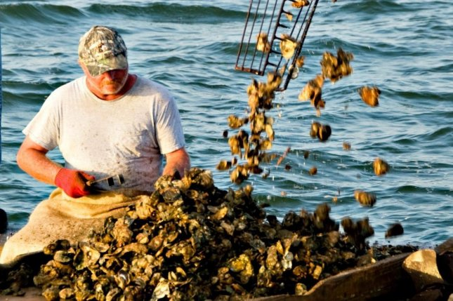 Florida banned harvesting oysters in Apalachicola Bay, as local resident Jack Osburn did in this 2013 photo, starting Aug. 1, for up to five years. Photo courtesy of Heather Rash