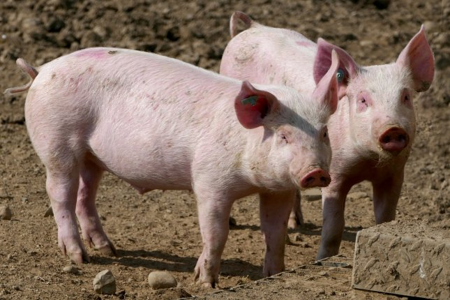New research shows that people who work on swine farms have a 15 times higher risk of harboring MRSA. Photo by ramboldheiner/Pixabay