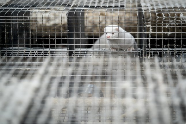 Minks wait for their turn to be collected and processed to fur on Friday, at a fur farm near Naestved, Denmark. Mink farms throughout Denmark have been ordered by the government to cull all animals to prevent the spread of a mutated coronavirus. Photo by Mads Claus Rasmussen/EPA-EFE