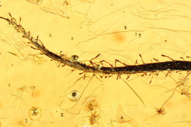 Scientists found an example of a carnivorous flypaper trap plant encased in Baltic amber in Russia. Photo courtesy Alexander Schmidt/University of Gottingen