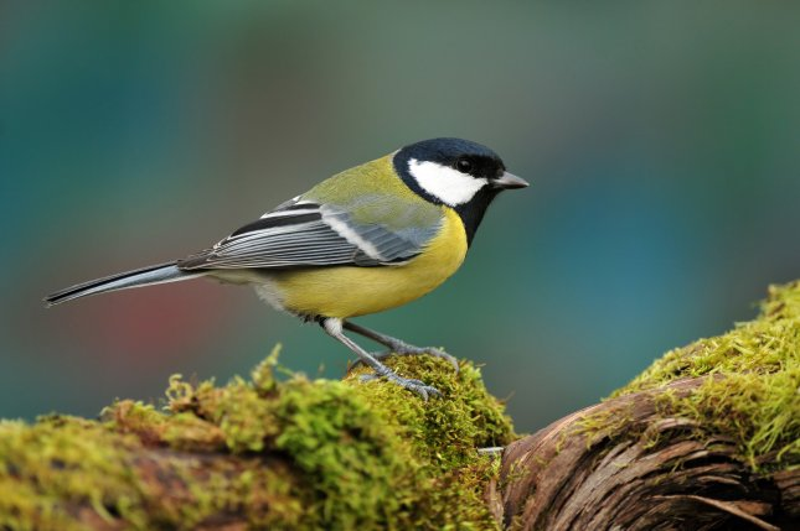 Male great tit. Photo by Soru Epotok/Shutterstock