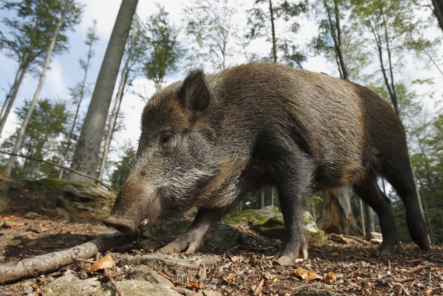 A stampede of wild boars mauled to death 3 Islamic State militants Tuesday in Iraqi. Photo by Guido Bissattini/Shutterstock