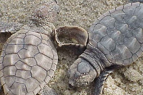 Researchers at Florida Atlantic University have developed a new method to more easily determine the sex of sea turtle hatchlings. Photo courtesy of U.S. Fish and Wildlife Service
