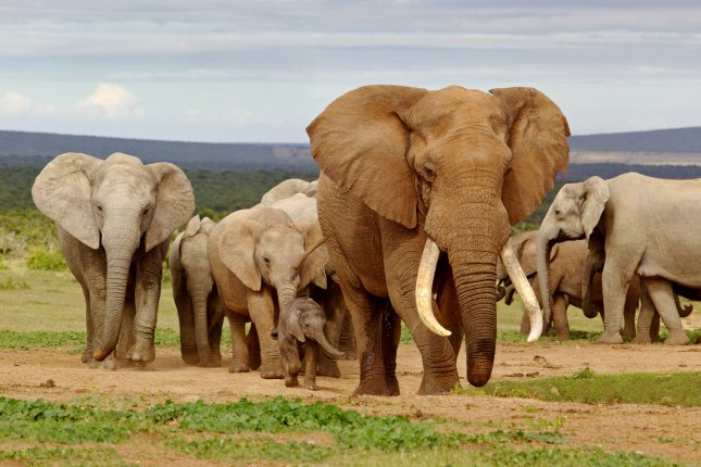 African elephants remain a preferred (and lucrative) target for poachers. File photo by UPI/David Steele