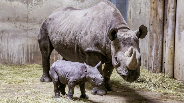 A black rhino calf was born Aug. 26, 2013 at Lincoln Park Zoo in Chicago to 8-year-old Kapuki (pictured) and 27-year-old Maku. Fewer than 5,100 of the species exist in the wild. (Lincoln Park Zoo)
