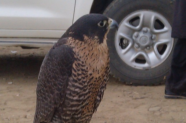A falcon that is raised for the hunt of houbara bustard. Screenshot from video obtained by News Lens Pakistan