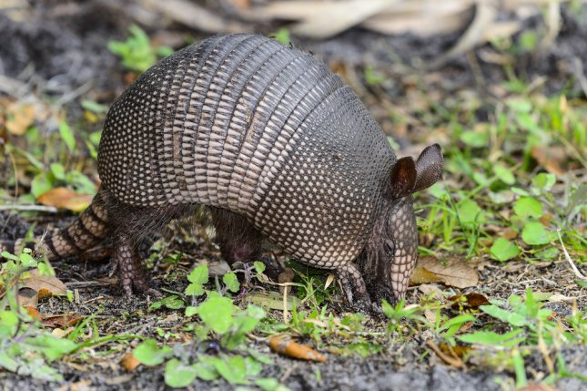 A nine-banded armadillo. Authorities in Cass County, Texas, say a wounded man told deputies he suffered a head injury when his own bullet bounced off an armadillo's back. Photo by Arto Hakola/Shutterstock